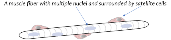 A muscle fiber with multiple nuclei and surrounded by satellite cells